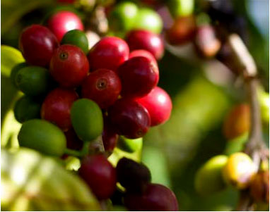 coffee-cherry-tree